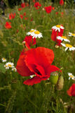 Papoilas na grama verde com ambiguidade interessante D Imagens de Stock