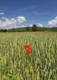 Papoilas no campo de trigo Imagens de Stock