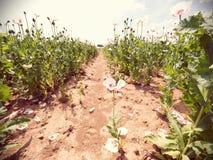 Papoilas no dia ensolarado Híbrido cor-de-rosa brancos da flor da papoila no grande campo Imagens de Stock Royalty Free