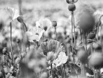 Papoilas no dia ensolarado Híbrido cor-de-rosa brancos da flor da papoila no grande campo Foto de Stock