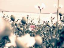 Papoilas no dia ensolarado Híbrido cor-de-rosa brancos da flor da papoila no grande campo Foto de Stock Royalty Free