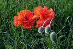 Papoilas orientais de florescência e seus botões Imagens de Stock Royalty Free