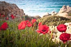 Papoilas pela praia. fotos de stock royalty free