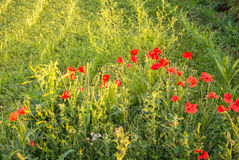 Papoilas que florescem no canto do campo de milho, um por do sol no campo Imagens de Stock