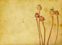Papoilas secas Imagem de Stock Royalty Free