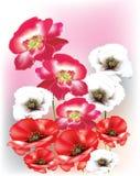 Papoilas selvagens coloridas bonitas, brilhantes Foto de Stock