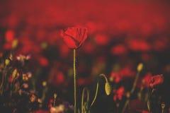 Papoilas selvagens em um campo vermelho imagem de stock royalty free