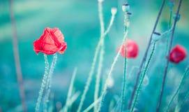 Papoilas selvagens vermelhas Fotografia de Stock Royalty Free