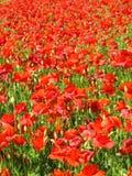 Papoilas vermelhas Fotografia de Stock
