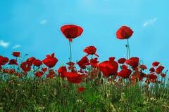 Papoilas vermelhas Imagem de Stock