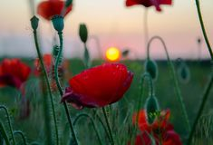 Papoilas vermelhas bonitas Imagens de Stock Royalty Free