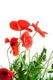 Papoilas vermelhas bonitas Foto de Stock Royalty Free