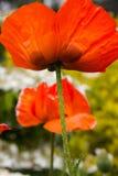 Papoilas vermelhas brilhantes em um dia de verão ensolarado Fotos de Stock Royalty Free