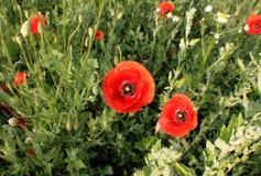 Papoilas vermelhas das flores selvagens a natureza de Ucrânia Imagens de Stock Royalty Free