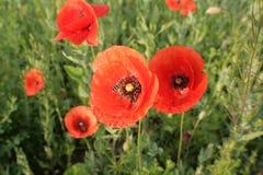 Papoilas vermelhas das flores selvagens a natureza de Ucrânia Fotos de Stock