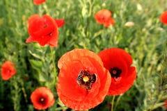 Papoilas vermelhas das flores selvagens a natureza de Ucrânia Imagem de Stock Royalty Free