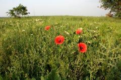 Papoilas vermelhas das flores selvagens a natureza de Ucrânia Imagens de Stock