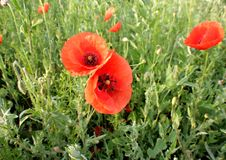Papoilas vermelhas das flores selvagens a natureza de Ucrânia Fotografia de Stock