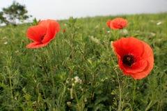 Papoilas vermelhas das flores selvagens a natureza de Ucrânia Fotografia de Stock Royalty Free
