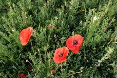 Papoilas vermelhas das flores selvagens a natureza de Ucrânia Foto de Stock