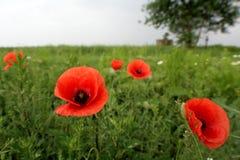 Papoilas vermelhas das flores selvagens a natureza de Ucrânia Fotos de Stock Royalty Free