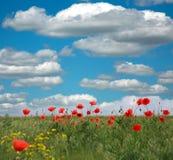 Papoilas vermelhas de florescência no fundo das nuvens brancas e do céu azul Fotografia de Stock Royalty Free