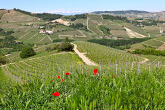Papoilas vermelhas e grama verde nos montes de Piedmont, Itália. Fotografia de Stock