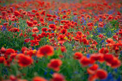 Papoilas vermelhas e sinos roxos na grama verde Imagens de Stock