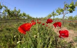 Papoilas vermelhas em Texas Vineyard fotografia de stock