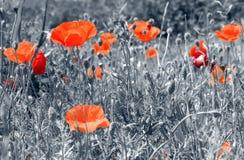 Papoilas vermelhas em um campo Fotos de Stock Royalty Free