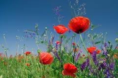 Papoilas vermelhas em um campo de encontro ao céu azul Foto de Stock