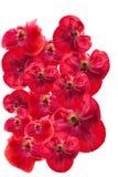 Papoilas vermelhas em um fundo branco Fotografia de Stock Royalty Free