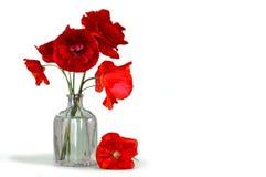Papoilas vermelhas em um vaso isolado no fundo branco Imagens de Stock Royalty Free
