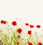Papoilas vermelhas, fundo floral exterior da natureza Fotografia de Stock Royalty Free