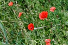 Papoilas vermelhas maravilhosas na grama verde Fotos de Stock Royalty Free