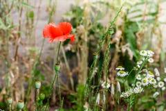 Papoilas vermelhas maravilhosas na grama verde Imagens de Stock