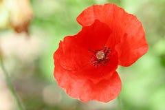 Papoilas vermelhas maravilhosas na grama verde Fotografia de Stock