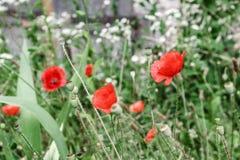 Papoilas vermelhas maravilhosas na grama verde Fotografia de Stock Royalty Free