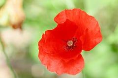 Papoilas vermelhas maravilhosas na grama verde Imagem de Stock