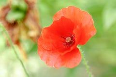 Papoilas vermelhas maravilhosas na grama verde Imagem de Stock Royalty Free