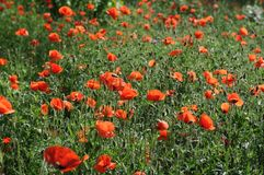 Papoilas vermelhas na grama Fotografia de Stock Royalty Free
