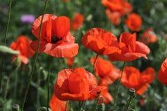 Papoilas vermelhas na grama Fotos de Stock