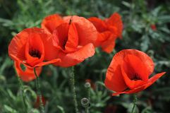 Papoilas vermelhas na grama Fotografia de Stock