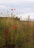 Papoilas vermelhas na grama alta Imagem de Stock