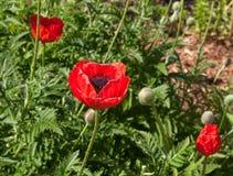 Papoilas vermelhas na grama verde Imagens de Stock Royalty Free