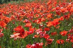 Papoilas vermelhas no campo do verde da mola Fotos de Stock Royalty Free