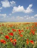 Papoilas vermelhas no campo sob as nuvens brancas no dia de verão Foto de Stock Royalty Free