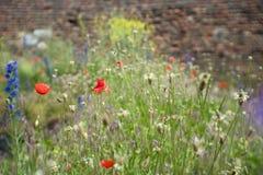 Papoilas vermelhas no campo verde Foto de Stock Royalty Free