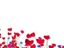 papoilas vermelhas no fundo branco Fotos de Stock Royalty Free