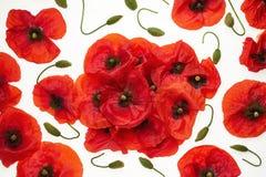 Papoilas vermelhas no fundo branco - papel de parede, fundo fotografia de stock